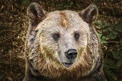 Retrato do urso Imagem de Stock