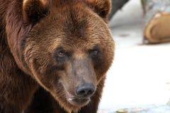 Retrato do urso fotografia de stock royalty free