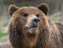 Retrato do urso de Brown Foto de Stock Royalty Free