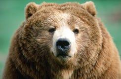Retrato do urso de Brown do Kodiak de Alaska imagem de stock