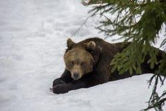 Retrato do urso de Brown preguiçoso na neve fotografia de stock