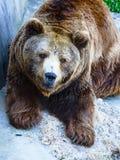 Retrato do urso pardo fotografia de stock