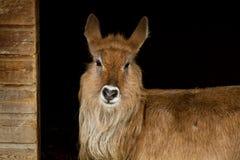 Retrato do waterbuck no abrigo Imagem de Stock Royalty Free