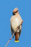 Retrato do Waxwing Fotos de Stock Royalty Free