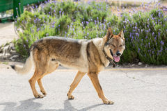 Retrato do wolfdog Fotografia de Stock Royalty Free