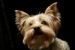 Retrato do yorkshire terrier em um fundo preto Fotografia de Stock