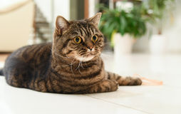 Retrato doméstico do gato de gato malhado Fotografia de Stock Royalty Free