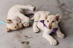 retrato doméstico do leão do bebê Fotografia de Stock