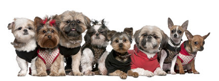 Retrato dos cães vestidos acima Fotografia de Stock Royalty Free