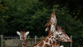 Retrato dos camelopardalis do girafa/Giraffa que estica para alcançar as folhas em uma árvore imagem de stock royalty free