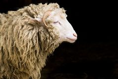 Retrato dos carneiros Fotografia de Stock