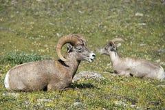 Retrato dos carneiros do Big Horn Imagens de Stock