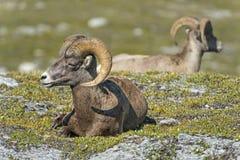 Retrato dos carneiros do Big Horn em montanhas rochosas Canadá Foto de Stock Royalty Free