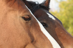 Retrato dos cavalos Imagens de Stock