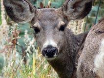Retrato dos cervos Foto de Stock