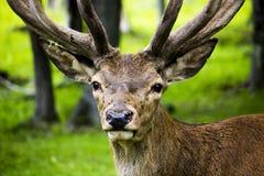 Retrato dos cervos fotografia de stock