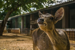 Retrato dos cervos Imagens de Stock