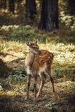 Retrato dos cervos de ovas na floresta imagens de stock royalty free