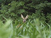 Retrato dos cervos de ovas selvagens escondidos entre plantas de milho fotos de stock