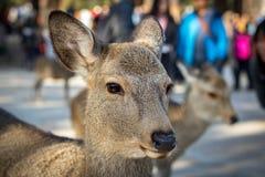Retrato dos cervos de Sika, Nara Park, Japão Foto de Stock