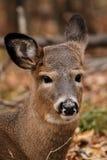 Retrato dos cervos de Whitetail Imagens de Stock Royalty Free