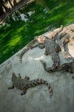 Retrato dos crocodilos animais Fotos de Stock Royalty Free