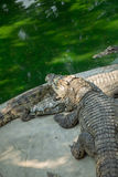Retrato dos crocodilos animais Imagem de Stock Royalty Free