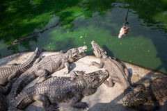 Retrato dos crocodilos animais Imagem de Stock