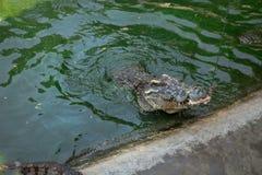 Retrato dos crocodilos animais Foto de Stock Royalty Free