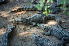 Retrato dos crocodilos animais Imagens de Stock Royalty Free