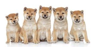 Retrato dos filhotes de cachorro do inu de Shiba Fotos de Stock