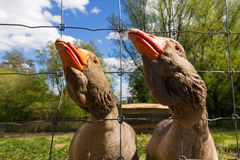 Retrato dos gansos fotografia de stock