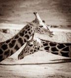 Retrato dos girafas Imagem de Stock