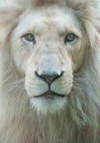 Retrato dos leões Fotos de Stock