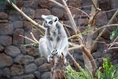 Retrato dos macacos do lêmure - macaco eyed amarelo imagem de stock
