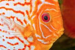 Retrato dos peixes do disco fotografia de stock