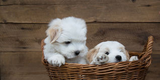 Retrato: Dos pequeños perritos - el bebé persigue el algodón de Tulear imagen de archivo