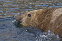 Retrato dos selos de elefante do sul masculinos que nadam no Antarctic Imagens de Stock