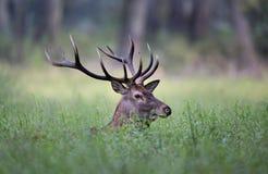 Retrato dos veados vermelhos Imagem de Stock Royalty Free