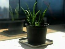 Retrato e reflexão da planta de vera do aloés Imagem de Stock