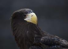 Retrato Eagle estelar Imagen de archivo libre de regalías