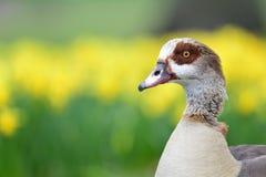 Retrato egípcio do ganso Imagem de Stock