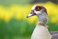 Retrato egípcio do ganso Fotos de Stock