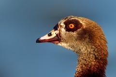 Retrato egipcio del ganso Fotos de archivo