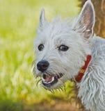 Retrato elevado ocidental do cão do terrier da terra ao ar livre Fotos de Stock Royalty Free