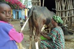 Retrato en casa de la vaca que ordeña a la mujer etíope foto de archivo libre de regalías