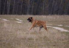 Retrato en el movimiento Una raza rara del perro - el Boerboel surafricano Imágenes de archivo libres de regalías