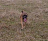 Retrato en el movimiento Una raza rara del perro - el Boerboel surafricano Imagen de archivo
