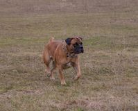 Retrato en el movimiento Una raza rara del perro - el Boerboel surafricano Fotos de archivo libres de regalías
