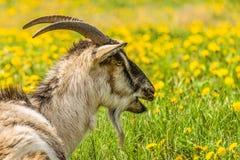 Retrato en perfil de una cabra que bala Foto de archivo libre de regalías